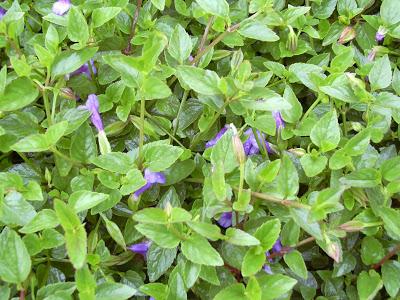 cây cỏ bướm nhẵn điều trị bênh lậu